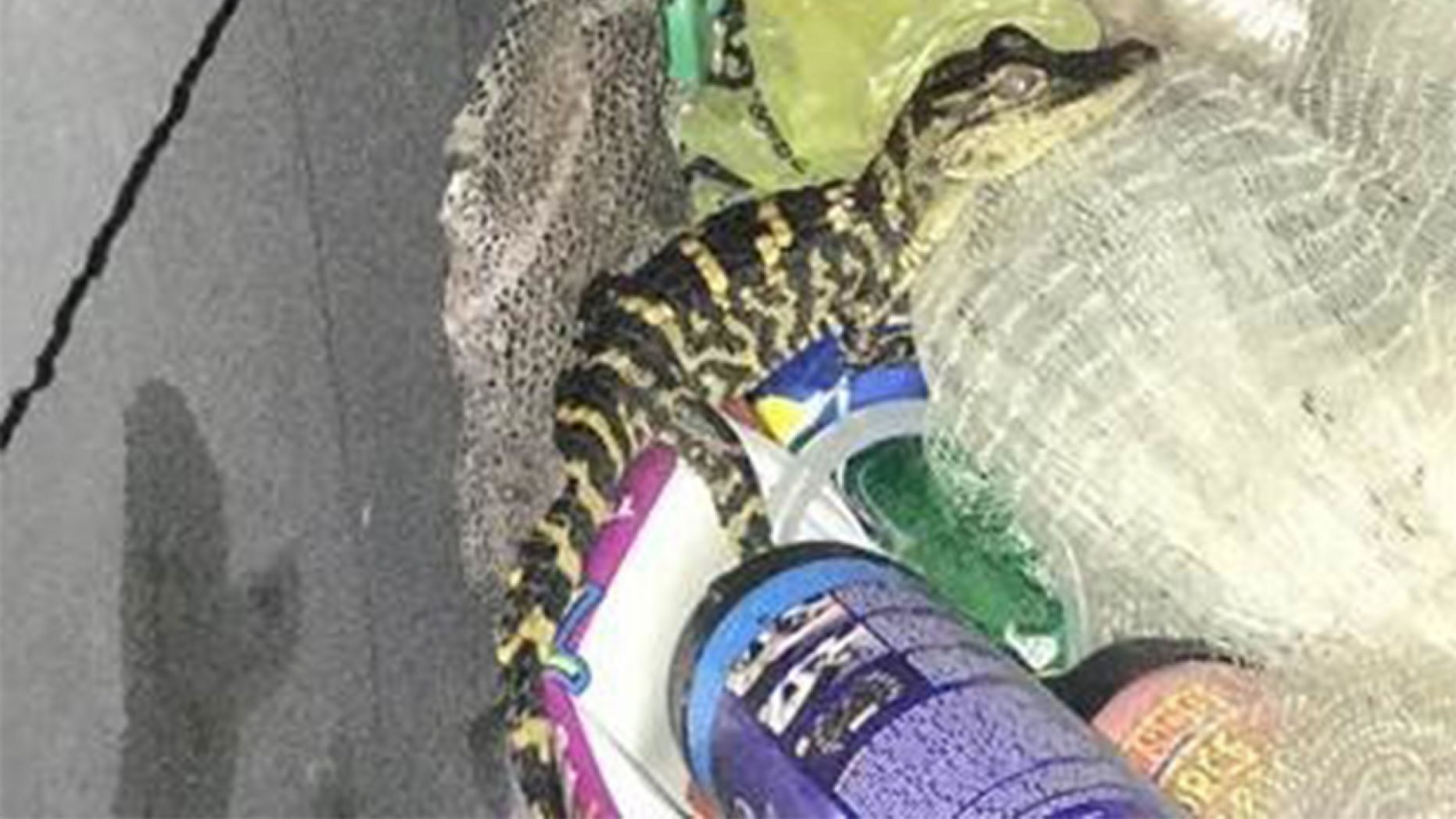Florida woman pulls alligator from her pants during traffic stop