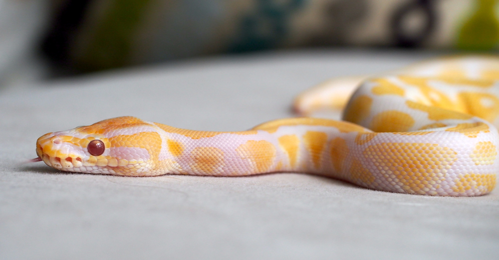 Police: Couple steals $300 albino python from pet store
