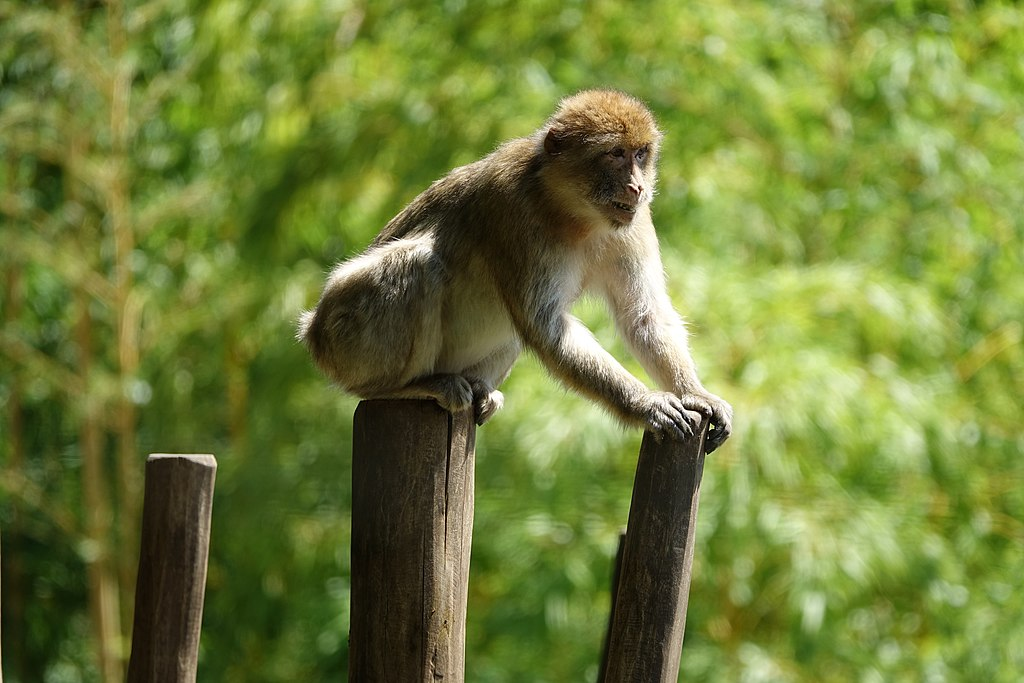 Monkey business: 2 dozen monkeys escape German zoo for a day